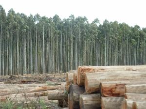 Plantaciones-de-eucalipto
